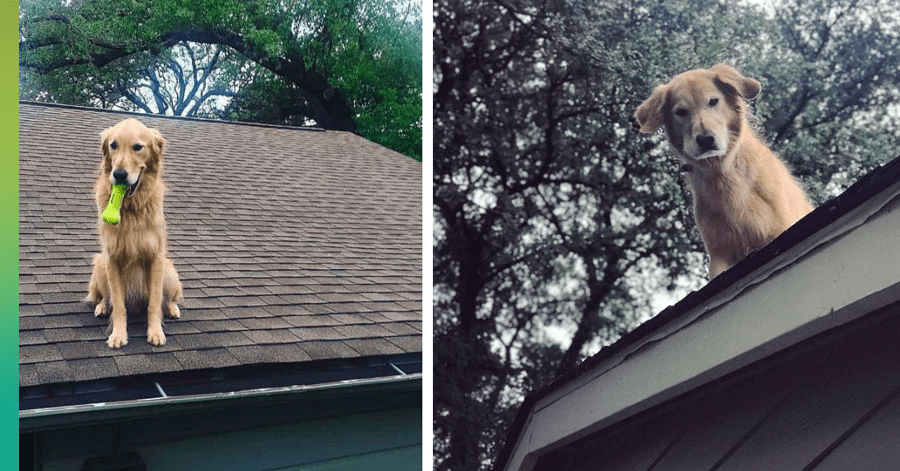 Roof dog Huck